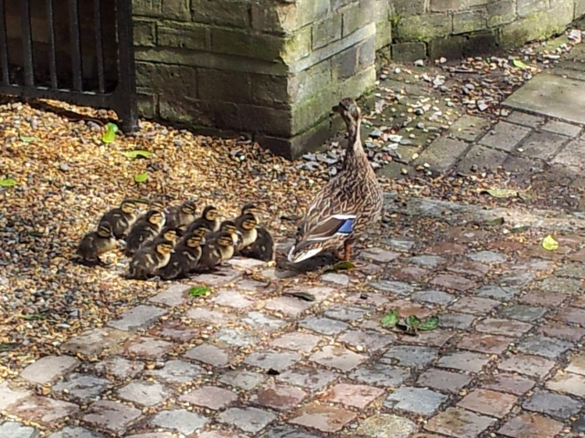 Sidgwick ducklings